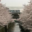 桜の谷を渡る