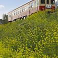 菜の花の丘を行く急行列車