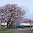 桜を横切る「いなほ」