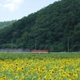 向日葵畑を行く普通列車